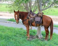 Horse tethered under the trees Royalty Free Stock Image