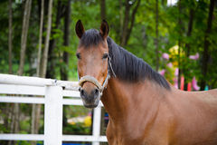 Horse, Thoroughbred racehorse,. Close-up. Bay stallion, walking horses. The sight of a horse Stock Photos