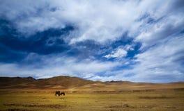 Horse in tibet china Stock Photos