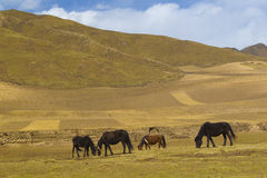 Horse in tibet china Royalty Free Stock Image