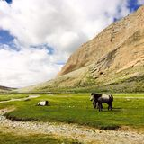 Horse. The horse in Tibet in summer Stock Photography