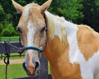 A Horse tied to a fence Royalty Free Stock Photo