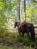 Horse tied among fall color trees Stock Image