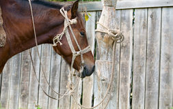 A horse tied to a pole Stock Photography