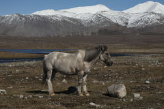 A horse tied to a rock. Royalty Free Stock Images