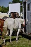 Horse tied to a trailer. A white horse is tied to a trailer at a county fair Royalty Free Stock Photography