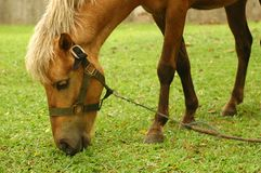 Horse tied up. By the tree and eat grass Stock Images