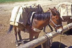 Horse tied up ready to be ridden, Lakeview, MT Stock Images