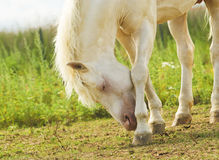 Horse tilted her head to the ground on a background of green grass Stock Images