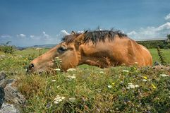 Horse at Tintagel Cornwall United Kingdom. The village and nearby Tintagel Castle are associated with the legends surrounding King Arthur and the knights of Royalty Free Stock Photo