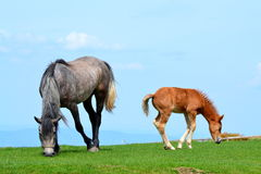 Horse with tired foal Stock Image