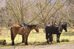 Horse to mount. Two saddled horses for riding Stock Photo