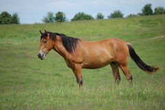 Horse to pasture Royalty Free Stock Photography