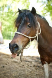 Horse with tongue out. Horse on farm with tongue out looking silly Royalty Free Stock Image