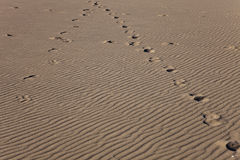 Horse tracks on a sand waves background. A photograph depicted horse tracks on a sand waves, created by ocean breeze Stock Image