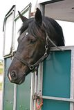 Horse in trailer. Dark Bay horse looking out of a trailer Royalty Free Stock Photos