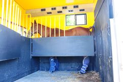 Horse Trailer. Transporting a horse in the horse's trailer Royalty Free Stock Photo