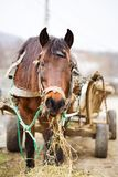 Horse and trailer. Brown horse tied to a trailer Stock Image