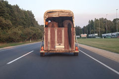 Horse trailer in action on a motorway. Transportation of two horses by trailer. View from back with horse tail hanging outside board Royalty Free Stock Photo
