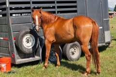 Horse By Trailer Royalty Free Stock Image