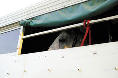 Horse trailer. Gray horse in horse van. Horse trailer. Gray white horse in horse van Royalty Free Stock Images