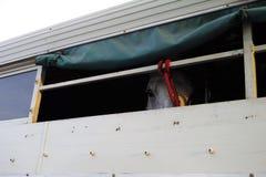 Horse trailer. Gray horse in horse van. Horse trailer. Gray white horse in horse van Stock Photography