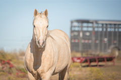 Horse and trailer. Head and shoulder shot of palomino horse with a horse trailer in background Stock Photography