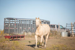 Horse and trailer. Head and shoulder shot of palomino horse with a horse trailer in background Royalty Free Stock Photography