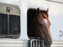 Horse in Trailer. Horse looking out of a trailer in Georgetown, CO stock image