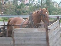 A horse in a trailer. A horse in a self-made trailer Stock Photos