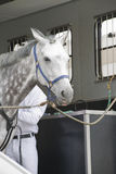 Horse in a trailer. White horse and jockey in a horse truck Stock Photos