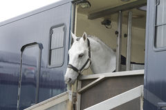 Horse in a trailer. White horse and jockey in a horse truck Stock Image