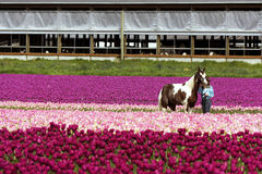 A horse and a trainer with tulips. SKAGIT VALLEY, WASHINGTON - APRIL 22, 2012: a horse with trainer in a field of tulips during the tulips festival at Skagit Stock Photography