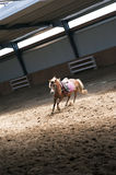 Horse training. Brown horse on longe in the training ground hall Stock Image