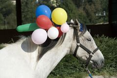 Horse training. With colorful moving ballons at the ear the horses are learning to keep cool in situations were strange things going on. Many horses have royalty free stock photos