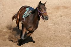 Horse in training Royalty Free Stock Image