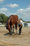 Horse training. Blonde girl teaching her bay thoroughbred horse to bow Stock Photos
