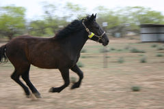 Horse Training. Horse running off long line. Training series royalty free stock images