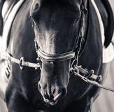 Horse on training closeup Royalty Free Stock Photography