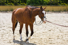 Horse on training field Royalty Free Stock Image