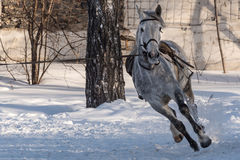 Horse training workout winter Royalty Free Stock Images