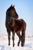 Horse. Trakehner black stallion in winter Stock Photos