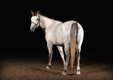 Horse. Trakehner gray color on dark background with sand Royalty Free Stock Image