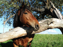 A horse with a tree. A horse watching from behind a tree Royalty Free Stock Photography