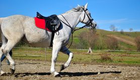 Horse trot. White horse riding, horse trot Stock Photography