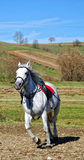 Horse trot. White horse riding, horse trot Stock Photo