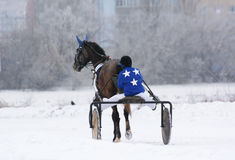 Horse trotter breed in winter. Back view Stock Images
