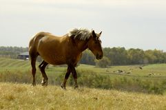 Horse Trotting. A large horse trotting against the skyline with a farm below him Stock Photography