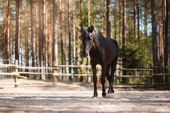 Horse trotting in a meadow Royalty Free Stock Image