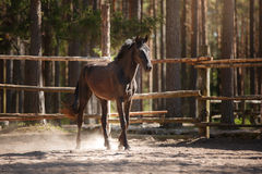 Horse trotting in a meadow Stock Images